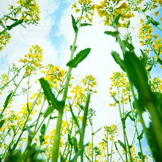 菜の花畑の写真・画像素材[916965]