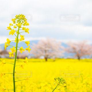 菜の花畑 - No.916967