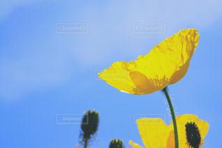 黄色のポピー - No.916970