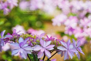 三室戸寺の紫陽花 - No.916974