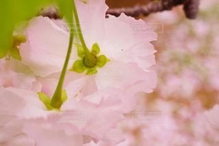 通り抜けの桜 - No.1130769