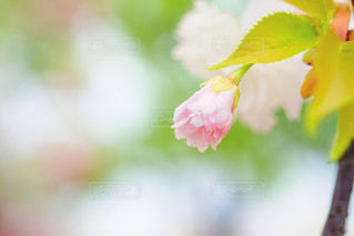 通り抜けの桜の写真・画像素材[1136090]