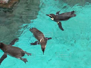 ペンギンの群れ - No.917105