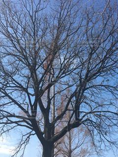 森の大きな木の写真・画像素材[923515]