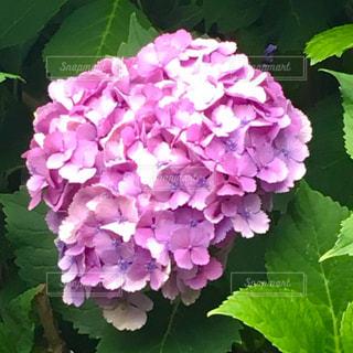 紫陽花 - No.960395