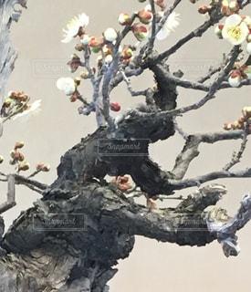 梅の木の枝の写真・画像素材[983596]