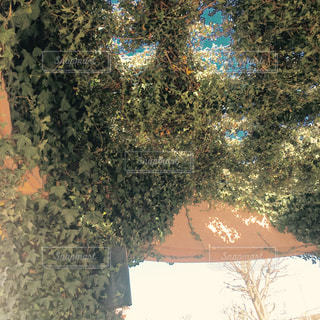 ツタの葉の絡まる下からのアップの写真・画像素材[1015893]