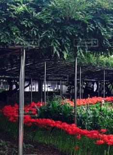 庭園の曼珠沙華の写真・画像素材[1464070]