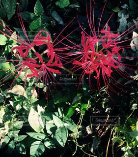 赤い花が付いている植物の写真・画像素材[1474969]