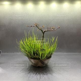 かわいい盆栽小鉢の写真・画像素材[1857221]
