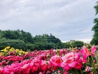 ピンクの花で満たされた花瓶の写真・画像素材[4426605]