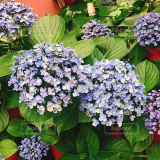 紫陽花の写真・画像素材[925500]