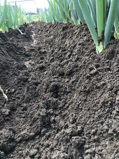 ネギの土盛りの写真・画像素材[1606290]