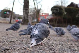 アップの鳩の写真・画像素材[924326]