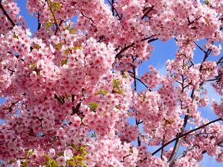 河津桜の写真・画像素材[1811235]
