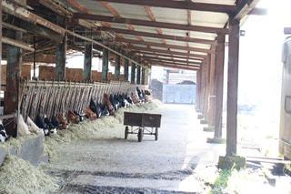 食事中の牛の写真・画像素材[2807743]