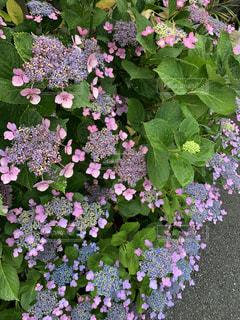 紫陽花のクローズアップの写真・画像素材[3321901]