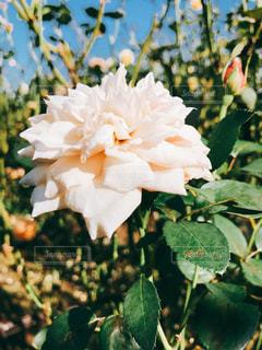 近くの花のアップの写真・画像素材[921343]