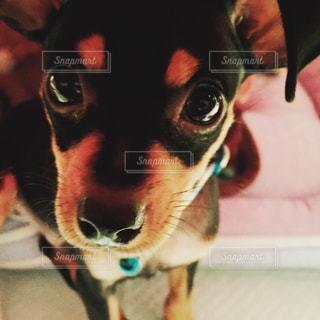 見つめている犬の写真・画像素材[921625]