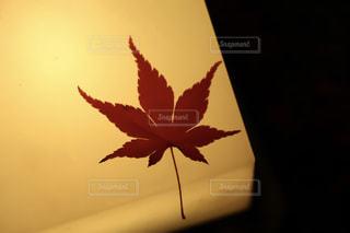照明の上の紅葉の写真・画像素材[921792]