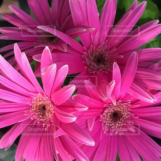 近くの花のアップの写真・画像素材[921804]