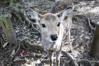 こちらを見上げる子鹿の写真・画像素材[921867]