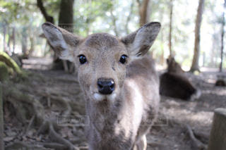 カメラ目線の子鹿の写真・画像素材[921868]