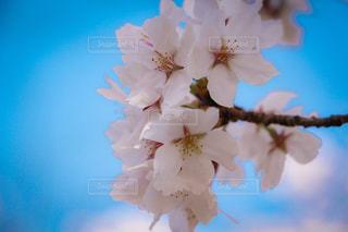 近くの花のアップの写真・画像素材[1111830]