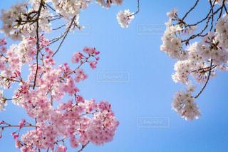 木にピンクの花のグループの写真・画像素材[1111832]