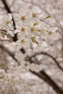 桜満開の写真・画像素材[922066]
