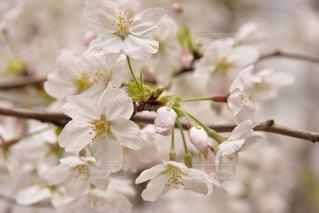 桜満開の写真・画像素材[922068]