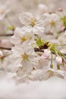 桜満開の写真・画像素材[922069]