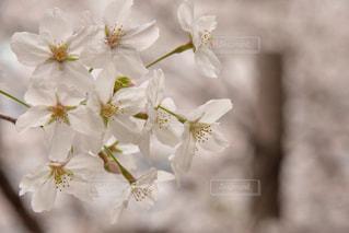 桜満開の写真・画像素材[922070]