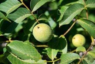 胡桃収穫の写真・画像素材[923644]