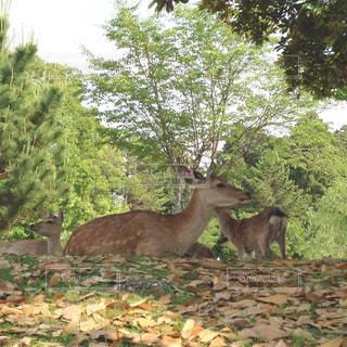 鹿の写真・画像素材[923659]