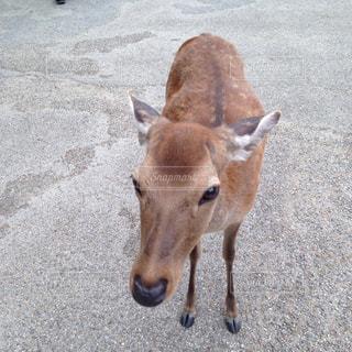 鹿の写真・画像素材[923660]