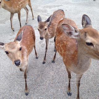 鹿の写真・画像素材[923662]