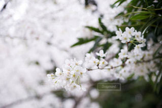 桜の写真・画像素材[1087687]