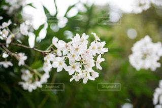 桜の写真・画像素材[1087688]