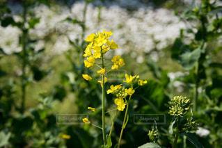 菜の花の写真・画像素材[1090225]