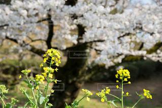 桜と菜の花の写真・画像素材[1090315]