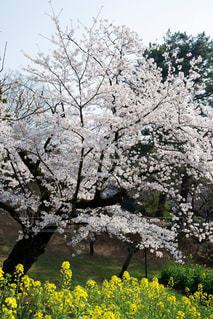 菜の花と桜の写真・画像素材[1090316]