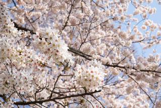 桜 満開の写真・画像素材[1090318]