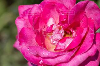 薔薇の写真・画像素材[1278043]