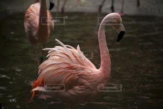 フラミンゴの写真・画像素材[1289680]