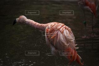 フラミンゴの写真・画像素材[1289683]