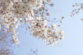 桜の写真・画像素材[1693295]
