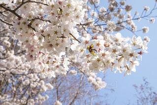 桜の写真・画像素材[1693296]