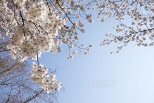 桜の写真・画像素材[1693298]