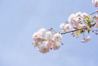 八重桜の写真・画像素材[1693300]